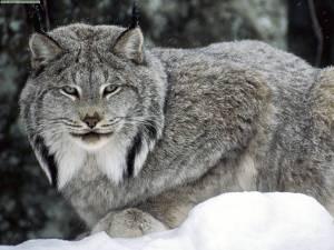 LYNX - Kucing Ganas/Liar